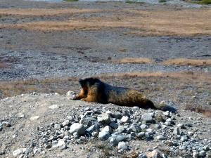 A Marmota Dourada no Parque
