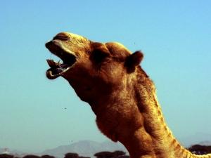 Camelo dando as boas-vindas