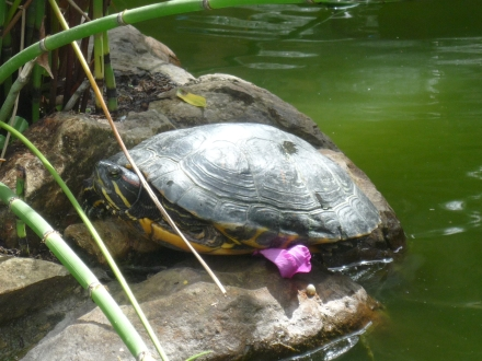 A tartaruga vive no pequeno lago na casa onde nos hospedamos.