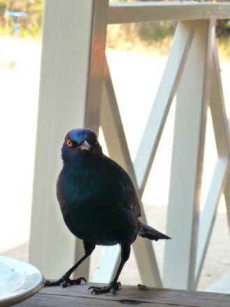 Pássaros no restaurante